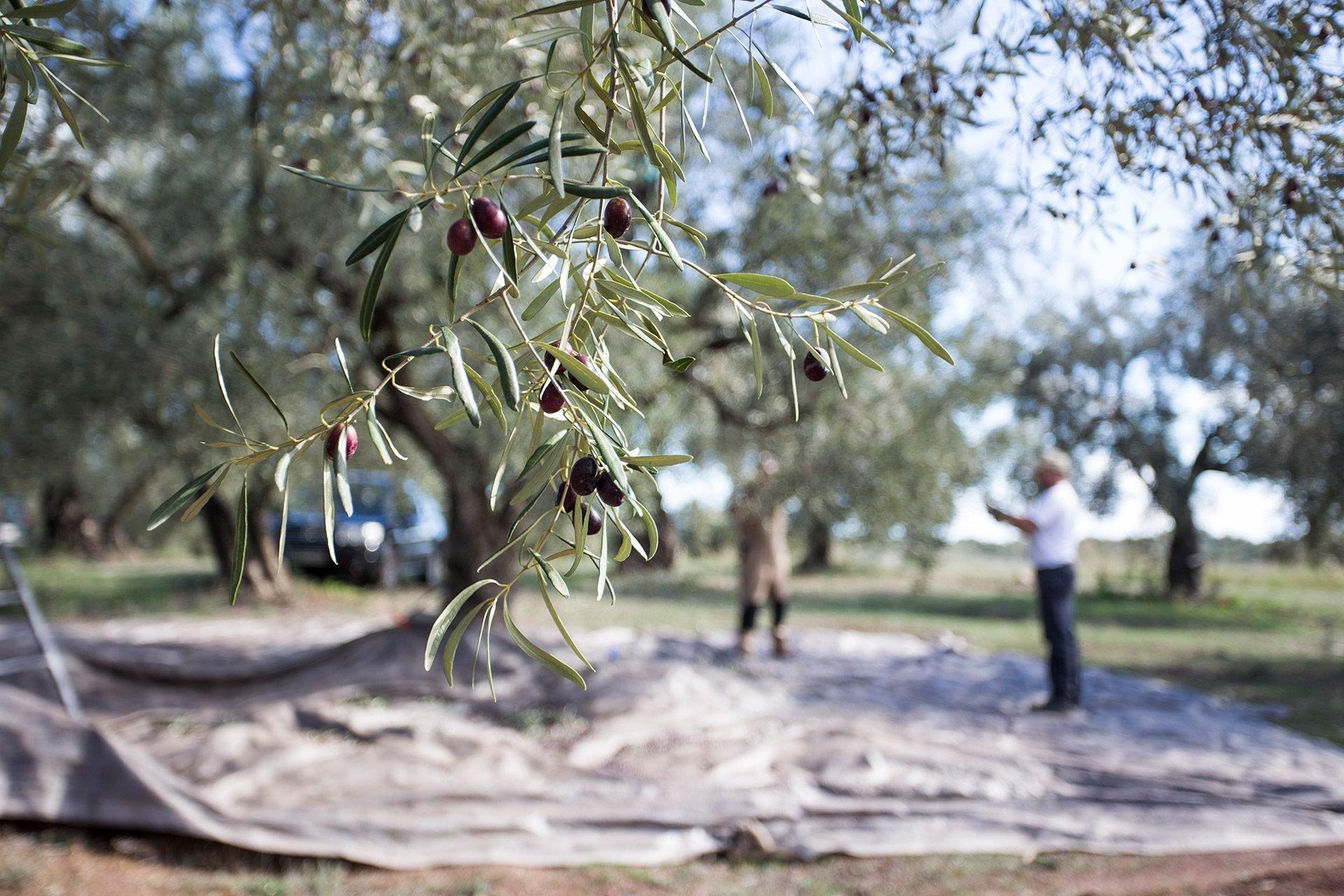 Ελιές - Kalamon olives Greenolia - Προσεκτική Διαλογή