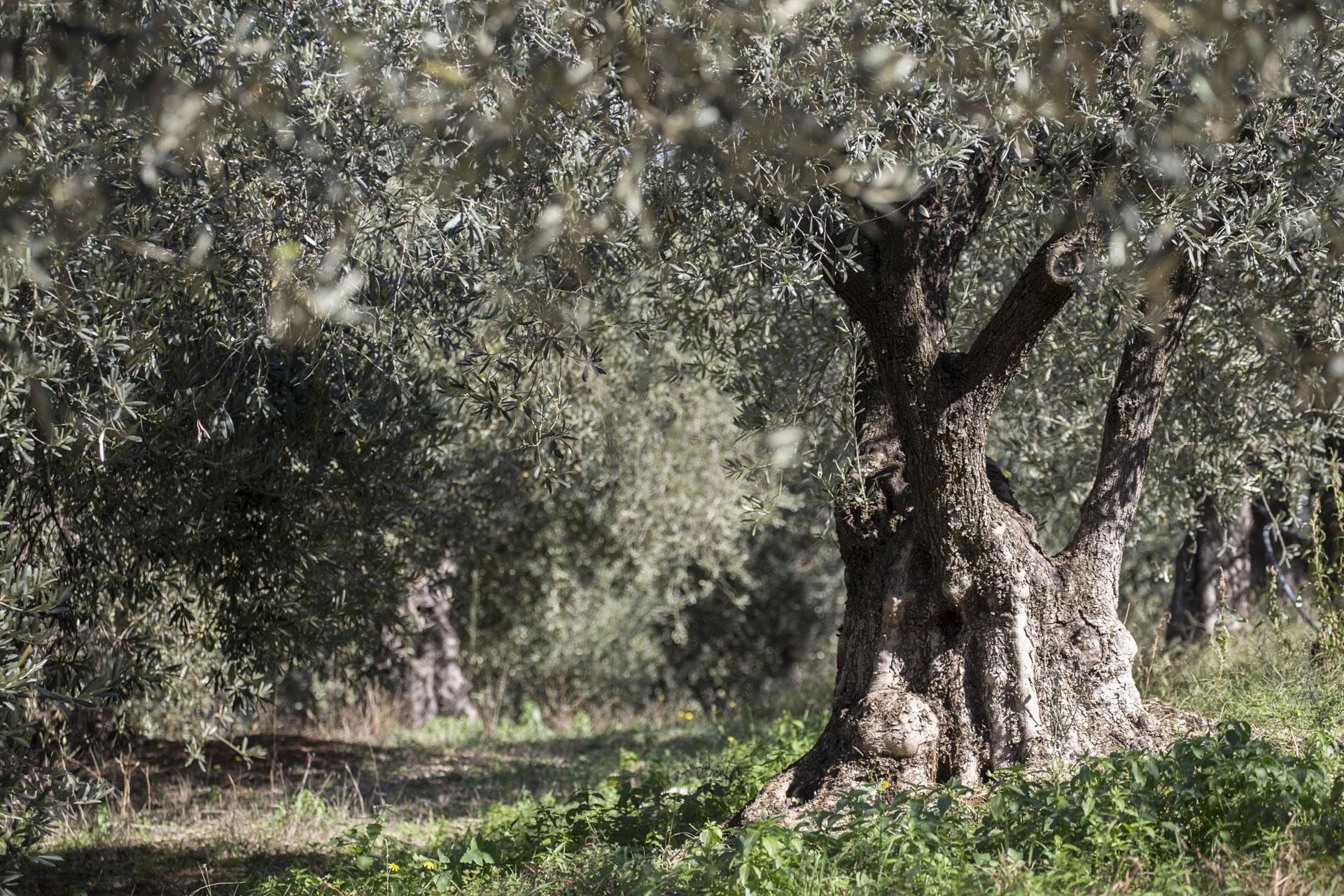 Classic αγνό Ελαιόλαδο Greenolia - Δεντρο ελιας