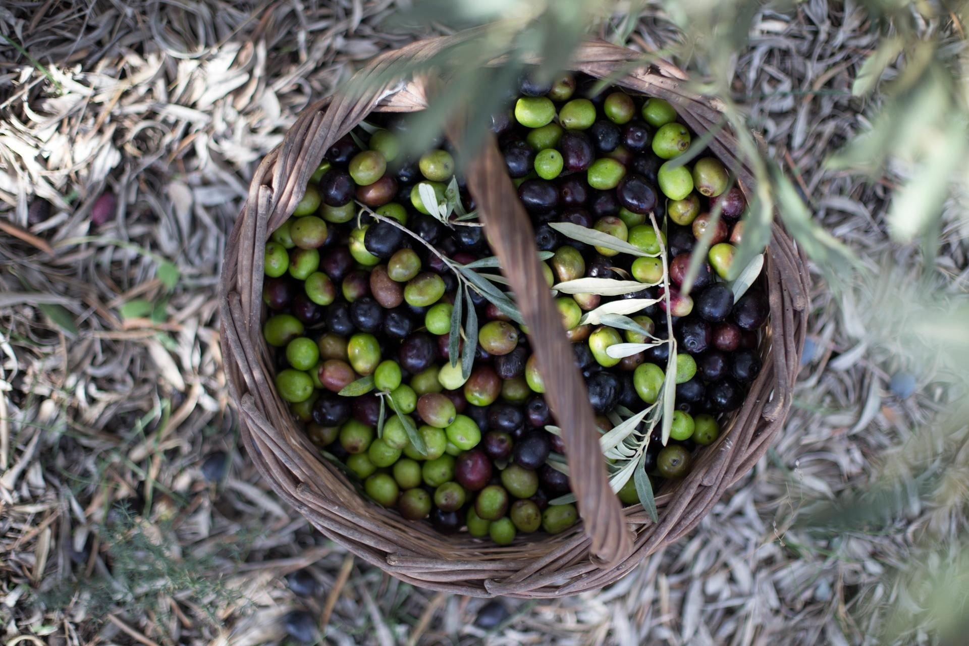 Ελιές - Green olives | Green Conservolia - Προϊόντα- Συλλογή Greenolia
