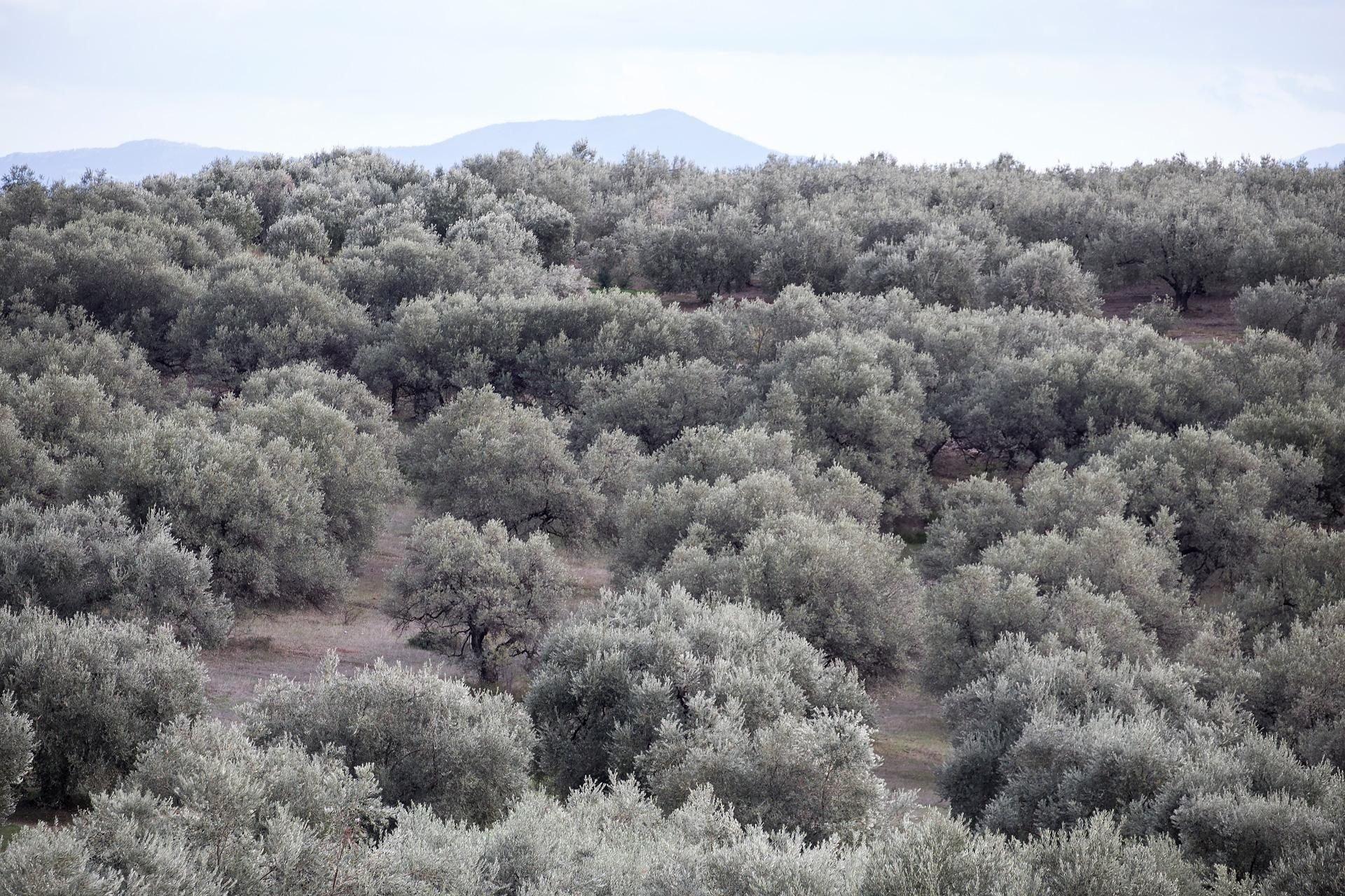 Ελιές - Kalamon olives Greenolia - Ελαιώνες